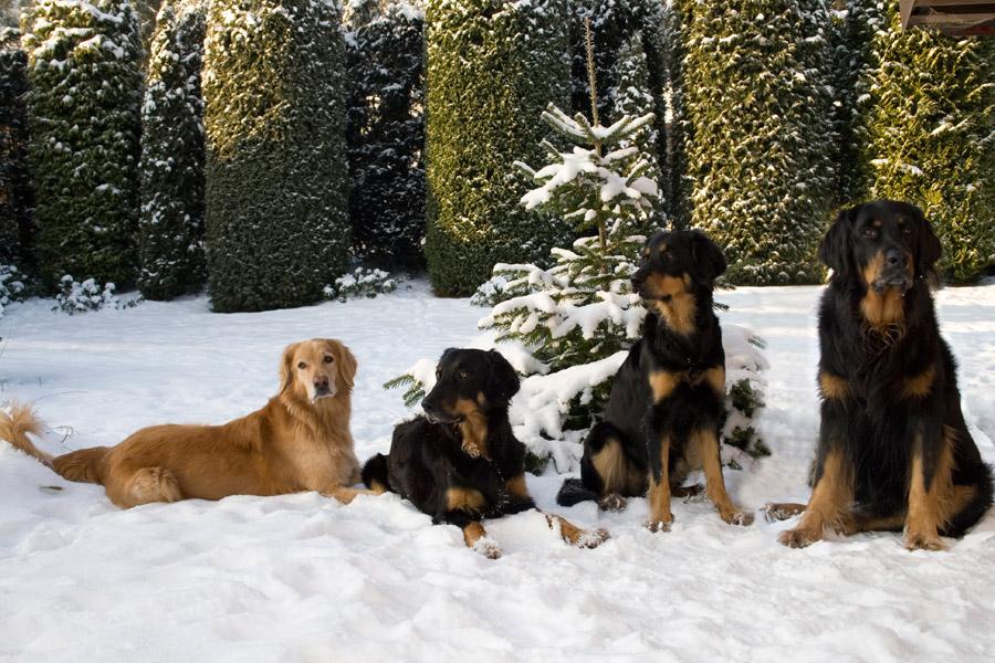 Hovawarte vom Düringer Moor - Januar 2009 -Franzy, Queena,, Ansa und Franco