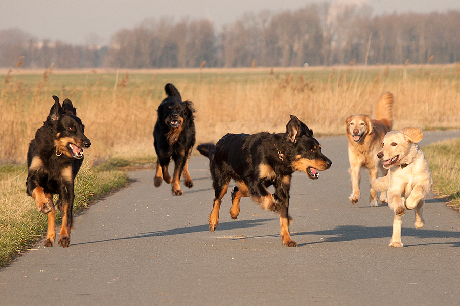 Hovawarte vom Düringer Moor - Januar 2012 - Queena, Franco, Ansa, Franzy und Gritta