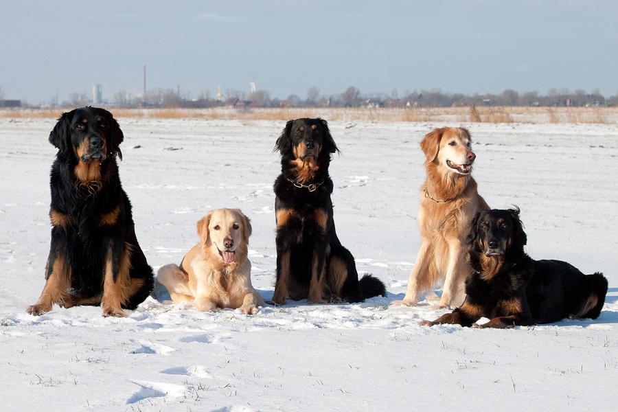 Hovawarte vom Düringer Moor - Winter 2012/2013 - Franco, Gritta, Ansa,, Franzy und Queena