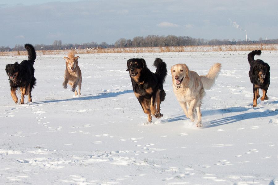 Hovawarte vom Düringer Moor - Winter 2012/2013 - Franco, Franzy, Ansa, Gritta und Queena