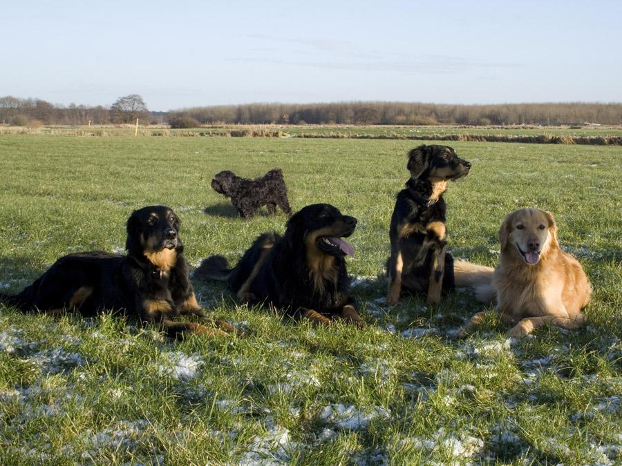 Hovawarte vom Düringer Moor - Januar 2009 -Queena,, Franco, Ansa und Franzy